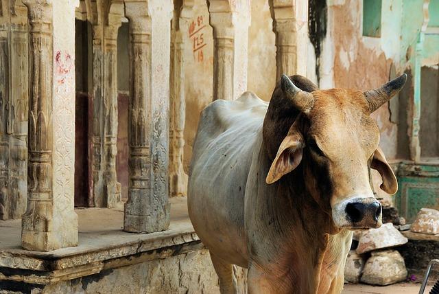 posvátná kráva