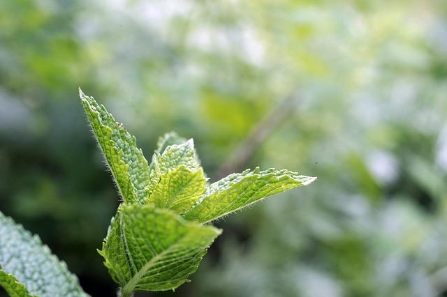 rostlina máty